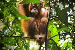 幼小猩猩在苏门答腊密林  免版税图库摄影