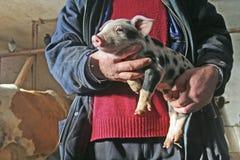 幼小猪 免版税库存照片