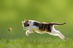 幼小猫狩猎蝴蝶 免版税库存照片
