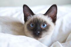 幼小猫,泰国东方品种,短尾的湄公河小猫,在床上说谎 免版税库存图片