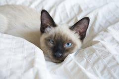 幼小猫,泰国东方品种,短尾的湄公河小猫,在床上说谎 免版税库存照片