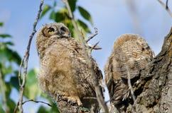 幼小猫头鹰之子高在它的看横跨树上面的巢 免版税库存图片