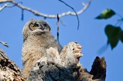 幼小猫头鹰之子高在它的看横跨树上面的巢 免版税图库摄影