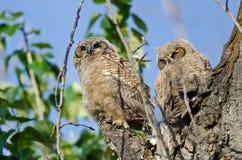 幼小猫头鹰之子高在它的看横跨树上面的巢 免版税库存照片