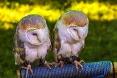 2头幼小猫头鹰 库存照片