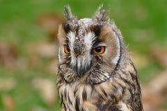 幼小猫头鹰& x28; 长的eared& x29;画象 库存图片