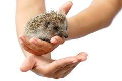 幼小猬在人的手上 小的动物需要保护 免版税库存图片