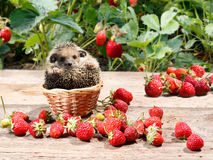 幼小猬在篮子坐在草莓旁边在庭院里 免版税库存图片
