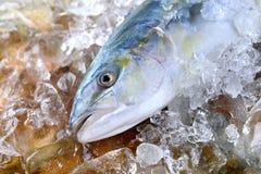 幼小琥珀鱼鱼或buri鱼 免版税库存图片