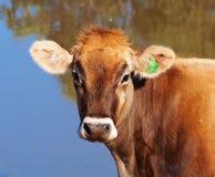 幼小瑞士人布朗奶牛 免版税库存照片