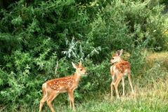 幼小白尾鹿小鹿孪生鹿 免版税图库摄影