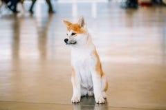 幼小白色和红色秋田Inu狗,小狗 免版税图库摄影