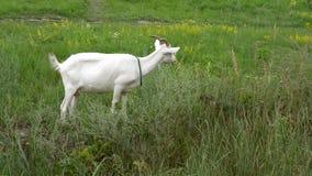 幼小白色山羊在一个绿色草甸吃草在明亮的晴天 股票视频
