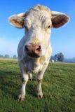 幼小白色母牛牧群  库存图片