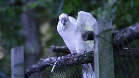 幼小白色美冠鹦鹉