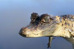 幼小眼睛凯门鳄,法属圭亚那 免版税库存图片