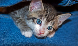 幼小短发布朗平纹小猫 库存图片