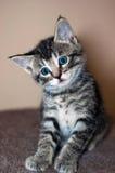 幼小短发灰色平纹小猫 免版税图库摄影