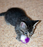 幼小短发灰色平纹小猫 免版税库存图片
