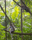 幼小短尾猿在猴子森林, Ubud里 图库摄影