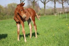 幼小短距离冲刺的马驹 库存图片