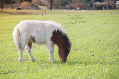 幼小矮小的逗人喜爱的马在一个农场有绿草背景 图库摄影