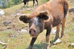 幼小科西嘉岛猪 免版税库存照片
