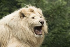 幼小空白狮子 免版税库存图片