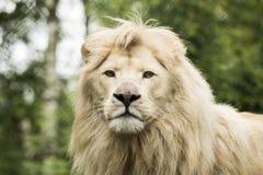 幼小空白狮子 免版税库存照片