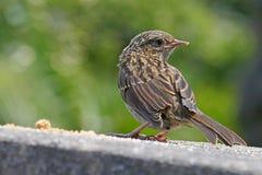 幼小篱雀之类的鸟Hedgesparrow 免版税图库摄影