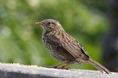 幼小篱雀之类的鸟Hedgesparrow 库存照片