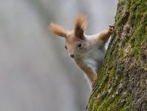 幼小红松鼠坐结构树。 免版税库存照片