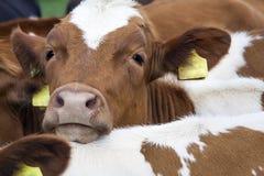 幼小红色母牛头在其他母牛之间的 库存图片
