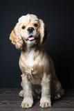 幼小纯血统猎犬 免版税库存图片
