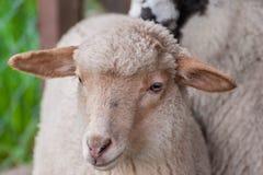幼小绵羊关闭射击,在自然光的画象 免版税库存图片