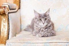 幼小缅因树狸猫 免版税库存照片