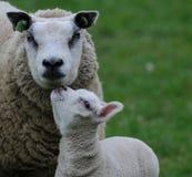 幼小羊羔和他们的母亲 免版税库存图片