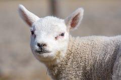 幼小羊羔 库存照片