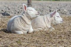 幼小羊羔 库存图片