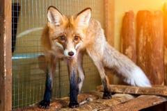 幼小美丽的棕色狐狸 库存照片