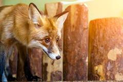 幼小美丽的棕色狐狸 库存图片