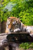 幼小美丽的老虎在动物园里在和哀伤 免版税库存图片