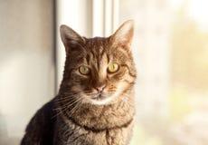 幼小美丽的虎斑猫在家 免版税库存图片