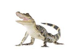 幼小美国鳄鱼 免版税库存照片