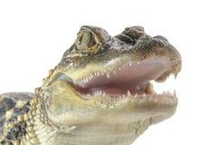 幼小美国鳄鱼 库存照片