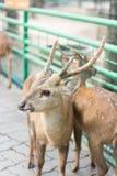 幼小肉猪鹿在动物园里 免版税库存图片