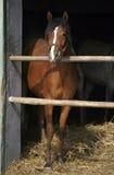 幼小良种马在槽枥 免版税库存照片
