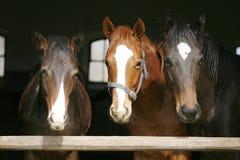 幼小良种马在槽枥 库存图片