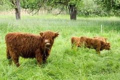 幼小苏格兰高地母牛 库存照片