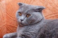 幼小英国猫等待主人 免版税图库摄影